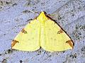 (1906) Brimstone Moth (Opisthograptis luteolata) (13865741755).jpg