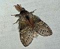 (1999) Lobster Moth (Stauropus fagi) (4920872238).jpg