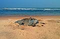 (Lepidochelys olivacea) dead at Bheemunipatnam beach 01.jpg