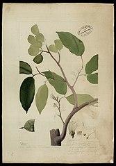 (Peltogyne densiflora, Spr)