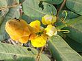 (Senna alata) flower at Mudasarlova Park 01.JPG