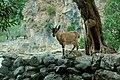 Κρητικός Αίγαγρος (Capra aegagrus creticus).jpg