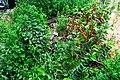 Борщагівський дуб DSC 0067.jpg