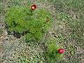 Весна, Сімферопольський р-н с. Мазанка.jpg