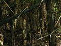 В густом еловом лесу - panoramio.jpg
