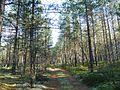 Дорожка meža ceļš - panoramio.jpg
