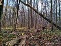 Еталонна діброва Вінницьке лісництво 1.jpg