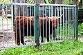 Київський зоопарк Шотландський скот 02.JPG