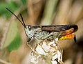 Конек обыкновенный - Chorthippus brunneus - Common field grasshopper - Braune Grashüpfer (30516048464).jpg