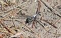 Озеро Тягле Рівночеревець решітчастий Самець DSC 02541.jpg