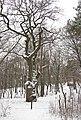 Парк «Березовий гай» Дуб Шевченка в парку.jpg