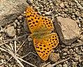 Перламутровка блестящая - Issoria lathonia - Queen of Spain Fritillary - Обикновена седефка - Kleiner Perlmutterfalter (37431171355).jpg