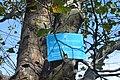 Платан західний (Одеса, сквер ім. Старостіна) DSC 0264.jpg