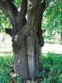 Родинна груша Харитонових. Долина р. Саксагань, м. Кривий Ріг (ботанічна пам'ятка природи).jpg