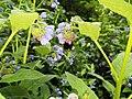 Сбор нектара с цветов окопника в Долине реки Сходни.jpg
