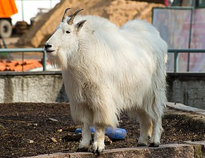 Mountain goat - Mountain goat at Moscow Zoo