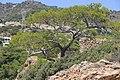 Сосна на склоне. Agia Fotia. Lasithi. Crete. Greece. Июль 2013 - panoramio.jpg
