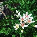 Цвете от Рила.jpg