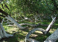 Яблуня-колонія у Кролевці.jpg