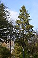 Ялина колюча у парку Гунські криниці.jpg