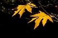 برگ زرد-پاییز-yellow leaves-falling leaves 15.jpg