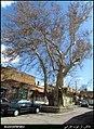 درخت کهن اسکو - panoramio.jpg