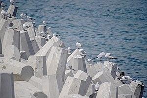 رفتار مرغان دریایی نوروزی یا یاعو در کشور عمان، شهر مسقط، ساحل دریای عمان - عکس مصطفی معراجی 08.jpg