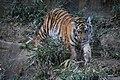 アムールトラ(Siberian Tiger) (5339414200).jpg