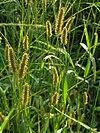 エノコログサSetaria viridis (L.) P.Beauv.P9130041.JPG