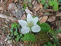 クサイチゴ(草苺)(Rubus hirsutus)-花 (5845089272).jpg