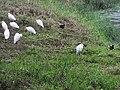 中白鷺 Egretta intermedia - panoramio (4).jpg