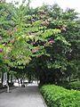 人行道 sidewalk with banyan - panoramio.jpg