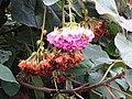 吊芙蓉 Pinkball (Dombeya wallichii) - panoramio.jpg