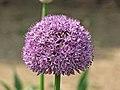 大花蔥 Allium giganteum 'Gladiator' -上海國際花展 Shanghai International Flower Show- (17327617736).jpg