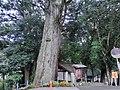 将軍杉 - panoramio (1).jpg