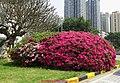 杜鹃花(映山红)azaleas, rhododendra - panoramio.jpg