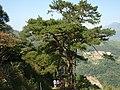泥山古道边的松树 - panoramio.jpg