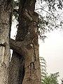 琅勃拉邦的树3253.jpg