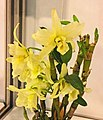 石斛蘭 Dendrobium Santana x Snow Baby -台南國際蘭展 Taiwan International Orchid Show- (40821105051).jpg