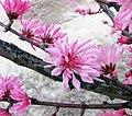 菊花桃 Prunus persica 'Chrysanthemoides' -上海植物園 Shanghai Botanical Garden- (17159773707).jpg