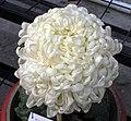 菊花-太平靜觀 Chrysanthemum morifolium 'Quiet Watch' -中山小欖菊花會 Xiaolan Chrysanthemum Show, China- (11962010626).jpg