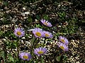 野菊花 Wild Chrisanthemum Flowers - panoramio.jpg