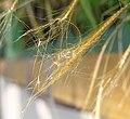 金絲草 Pogonatherum crinitum -香港西貢獅子會自然教育中心 Saikung, Hong Kong- (9261991244).jpg