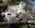 霞櫻 Cerasus verecunda (Cerasus leveilleana) -日本京都植物園 Kyoto Botanical Garden, Japan- (41514396112).jpg