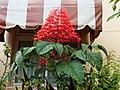 龍船花 Clerodendrum paniculatum L. - panoramio.jpg