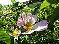 -2019-06-06 Dog rose (Rosa canina), Knapton, Norfolk (1).JPG