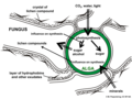 05 02 interactions green alga (green), fungal hypha, lichen, Lichenes (M. Piepenbring).png