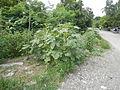 07629jfInsects Okra Bagumbayan Victoria Welcome Llanera Nueva Ecijafvf 10.JPG