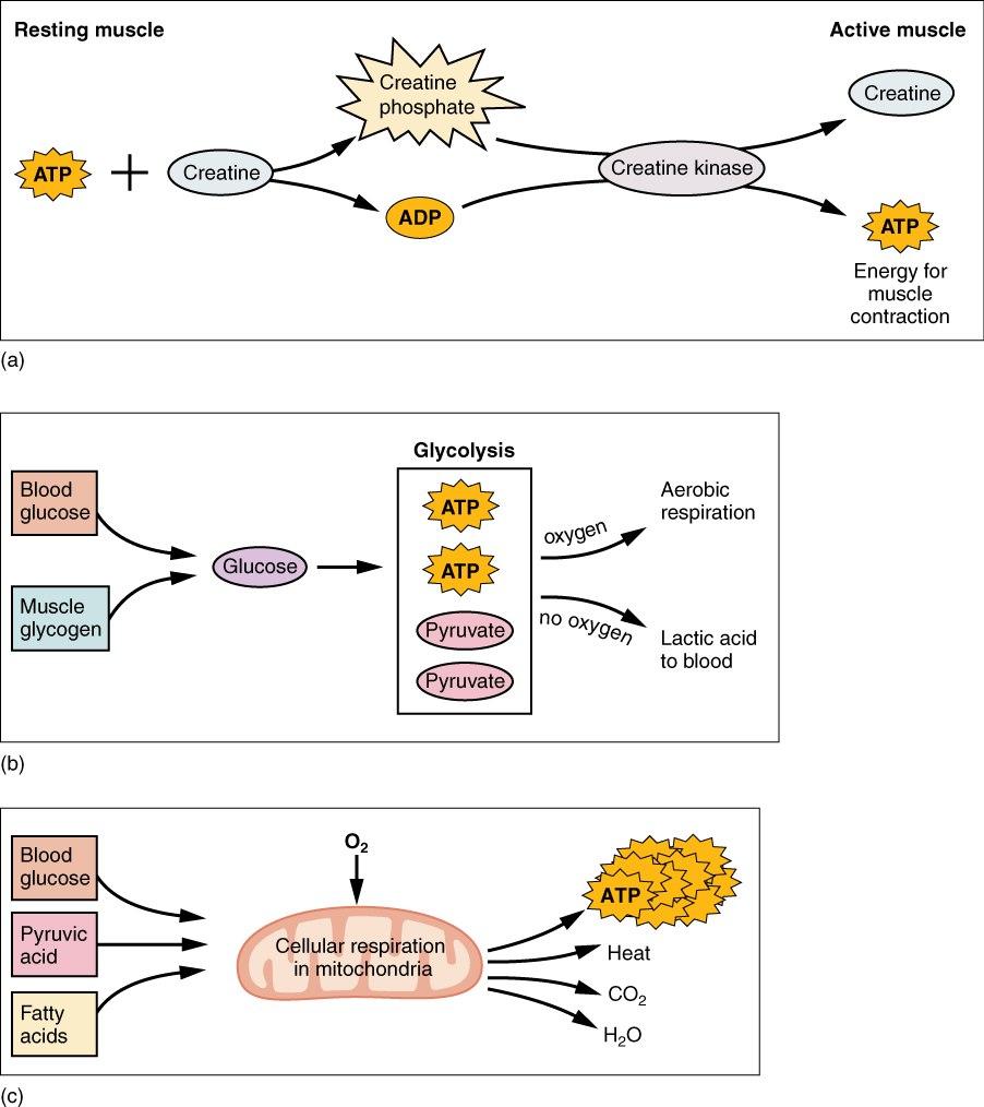 1016 Muscle Metabolism