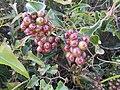 11-04-2017 Rough Bindweed Fruit Red Berries (Smilax aspera), Vale de Santa Maria (1).JPG